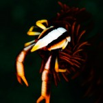 Crinoid Squat Lobster (Ben Jackson)
