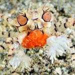Boxer Crab (Ben Jackson)