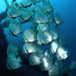 Batfish on Anilao's wreck (Ben Jackson)