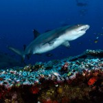 Whitetip Reef Shark (Ben Jackson)