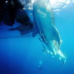 Cendrawasih Bay Whale Shark (Ben Jackson)