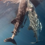 Cendrawasih Bay Whale Sharks (Bonnie Jackson)