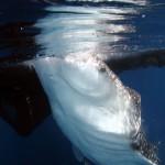 Cendrawasih Bay Whale Shark (Bonnie Jackson)