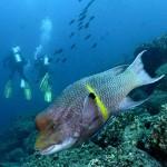Mexican Hogfish (Ben Jackson)