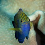Princess Damselfish (Bonnie Wong)
