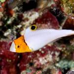Juvenile Bicolor Parrotfish (Bonnie Wong)