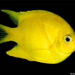 Golden Damselfish (Bonnie Wong)