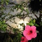 Hibiscus in Palau (Bonnie Jackson)