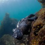 Marine Iguana (John Hill)