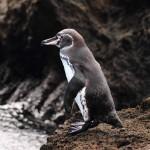 Galapagos Penguin (Bonnie Jackson)