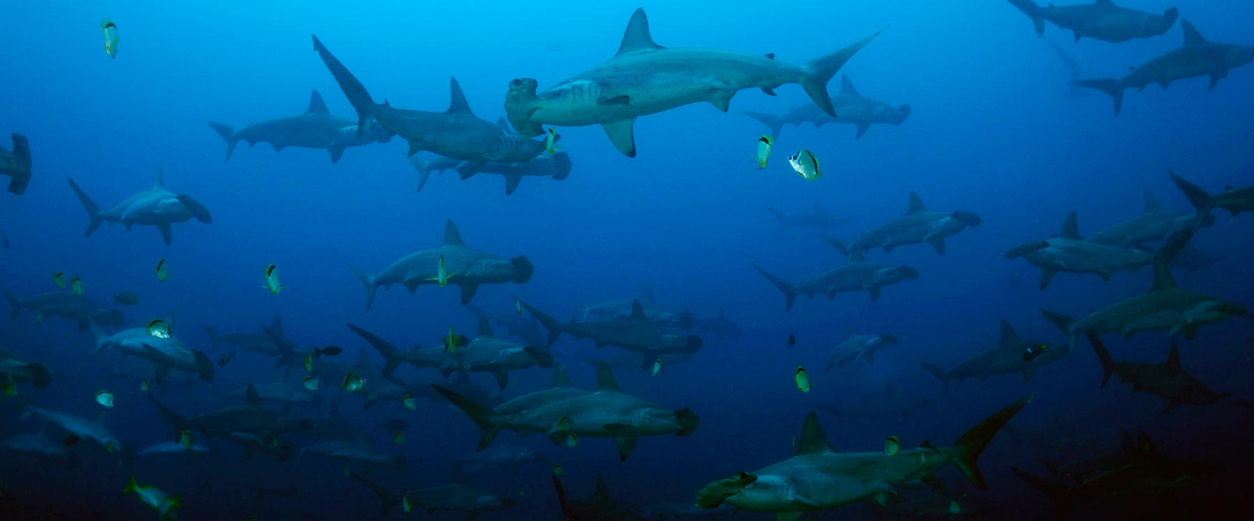 Schooling Hammerheads at Alcyone (Ben Jackson)
